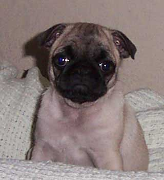 Little Sheba the Hug Pug Photo 00081