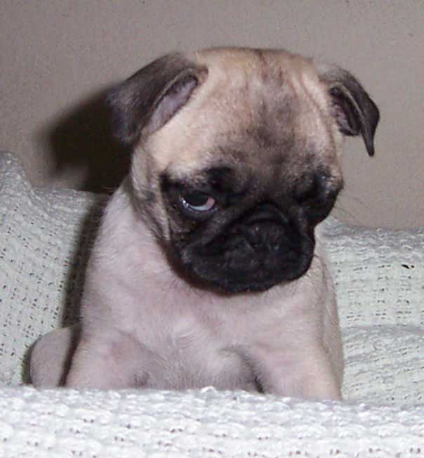 Little Sheba the Hug Pug Photo 00082