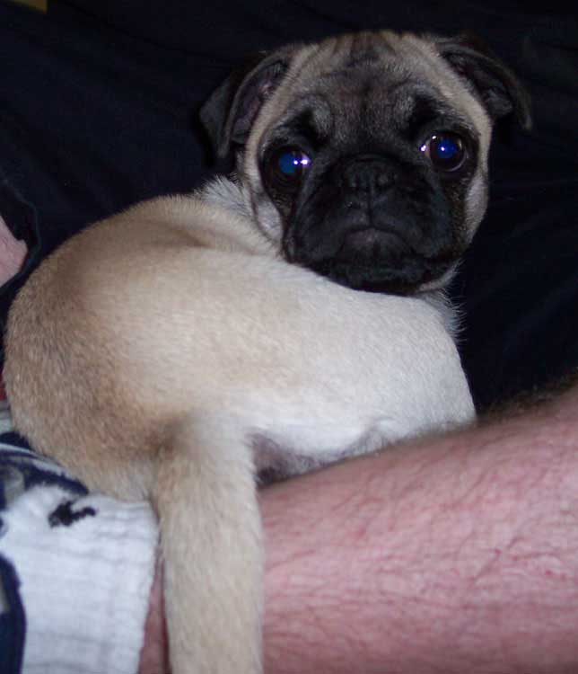 Little Sheba the Hug Pug Photo 00309