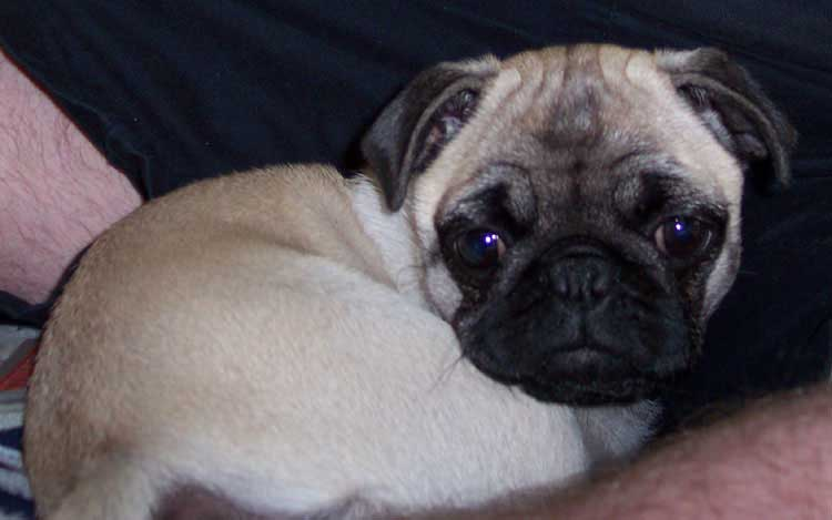Little Sheba the Hug Pug Photo 00311