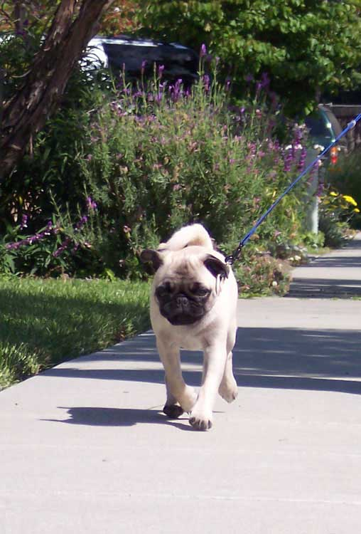 Little Sheba the Hug Pug Photo 00633
