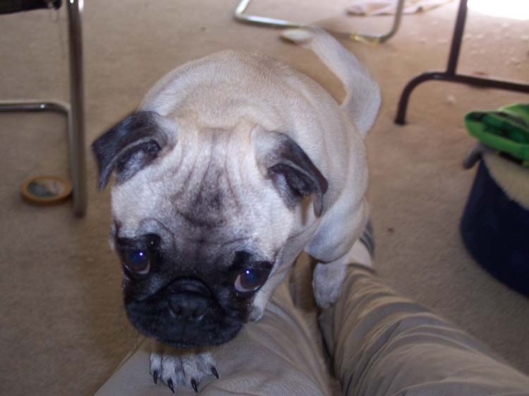 Little Sheba the Hug Pug Photo 00697