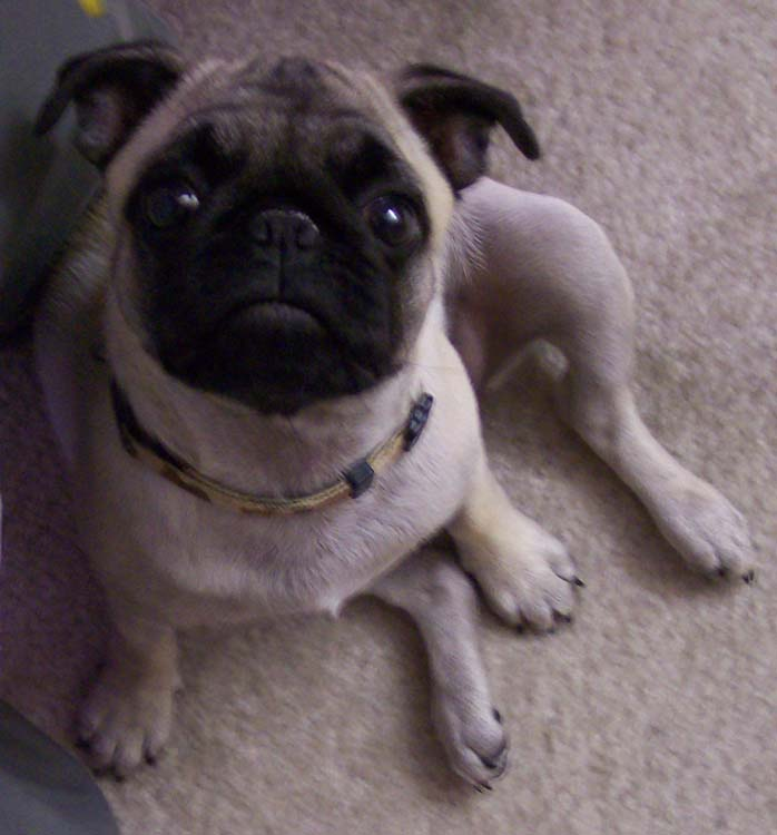 Little Sheba the Hug Pug Photo 00765