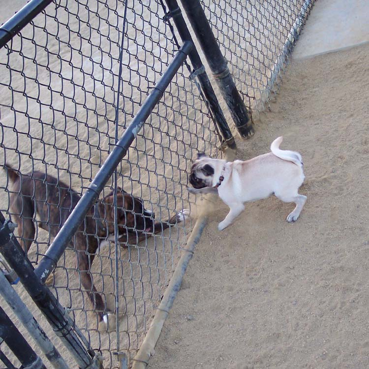 Little Sheba the Hug Pug Photo 01113