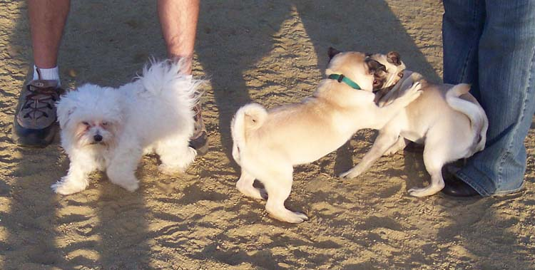 Little Sheba the Hug Pug Photo 01243