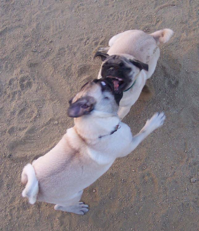 Little Sheba the Hug Pug Photo 01298